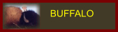 link to buffalo bison page